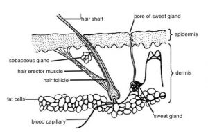 Enlarged Pores - Diagram of hair follicle